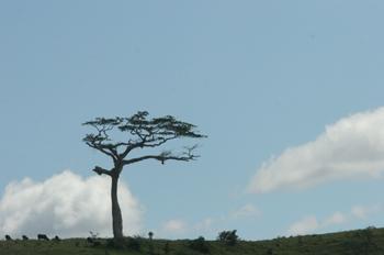 árbol solo en una montaña, Puerto de Galinhas, Pernambuco, Brasi