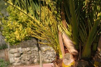 Palmera canaria - Flores (Phoenix canariensis)