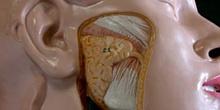 Glándulas Salivares y Músculos