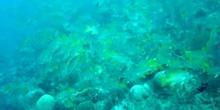 Pez gruñidor de líneas azules (Haemulon plumierii)