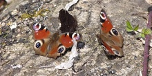 Mariposa pavo real Aglais io (Linnaeus, 1758)