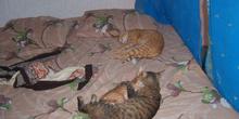 Gatos tumbados sobre colchón, Túnez