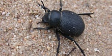 Escarabajo (Pimelia Punctata)