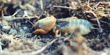 Grillo topo  o alacrán cebollero (Gryllotalpa gryllotalpa)