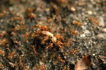 Hormiga (Pheidole gen.)