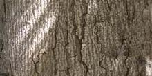 Abeto pinsapo - Tronco (Abies pinsapo)