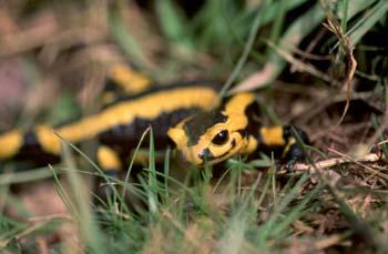 Salamandra (Salamandra salamandra)