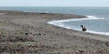 Dromedario en la playa, Rep. de Djibouti, áfrica