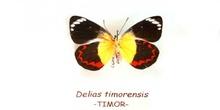 Delias timorensis (Timor)