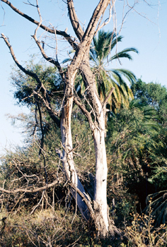 Hábitat semi-tropical, Botswana