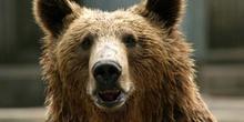 Oso pardo (Ursus arctos)