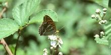 Nacarada (Argynnis paphia)