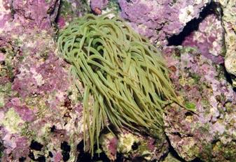 Anemona de tentaculo largo (Anemona sulcata)