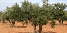 Olivo - Porte (Olea europaea)