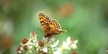 Doncella (Mellicta sp.)