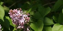 Lilo - Flor (Syringa vulgaris)
