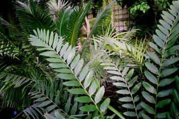 Planta tropical (Encephalartos ferox)