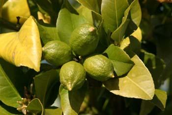 Limonero - Fruto (Citrus limon)