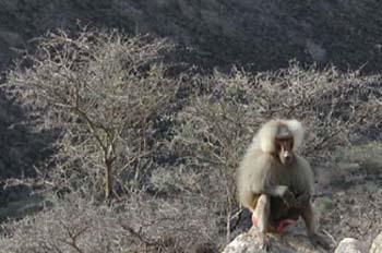 Mono sentado, Rep. de Djibouti, áfrica