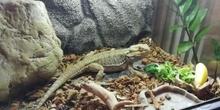 LOLA, la dragona barbuda mascota del CEIP REPÚBLICA DEL URUGUAY