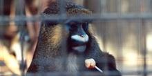 Mono (Primates Orden)