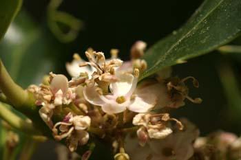 Acebo - Flores (Ilex aquifolium)