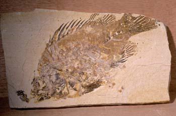 Priscacara serrata (Peces) Eoceno
