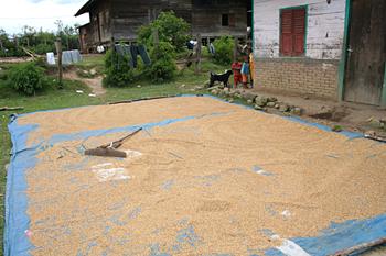 Secando arroz, Batak, Sumatra, Indonesia