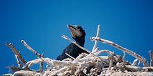Cría de cormorán, Namibia