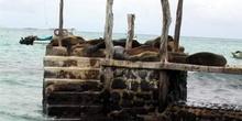 Colonia de Lobos Marinos en un muelle de la Isla Sta. Cruz, Ecua