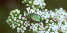 Escarabajo verde metálico (Cetonia carthami)
