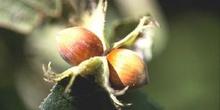 Avellano - Fruto (Corylus avellana)