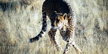 Contorsión del guepardo, Mamibia