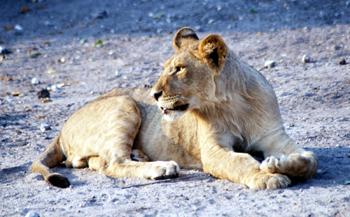Cachorro de León de perfil, Botswana