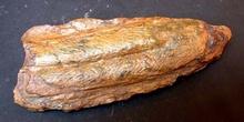 Cruziana sp. (Huella) Ordovícico
