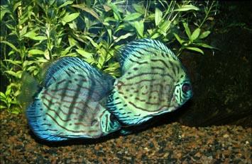 Pez disco (Symphysodon sp.)