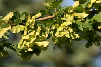 Arce campestre - Frutos (Acer campestris)