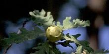 Agalla gande del roble o Gallarón (Cynips coronatus)