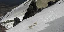 Perros labradores jugando en las faldas del volcán Nevado de Tol