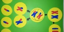 Mural meiosis