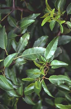 Loro - Hoja (Prunus lusitanica)