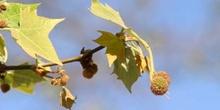 Plátano - Flor masc. (Platanus orientalis)