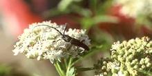 Longicornio menor de los quercus (Cerambyx scopoli)