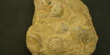 Caliza fosilífera lumaquela