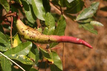 Pulgón del Pistacho - Agalla ( Baizongia pistaciae)