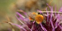 Abejorro (Bombus pratorum)