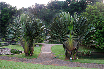 Rabenala árbol del viajero, Jardín botánico, Java, Indonesia