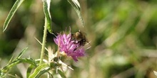 Abeja (Colletes succintus)