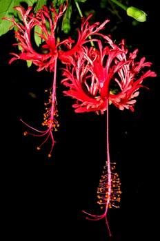 Flor tropical, Isla Fitzroy, Australia