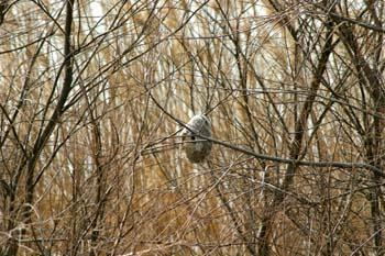 Pájaro moscón - Nido (Remiz pendulinus)